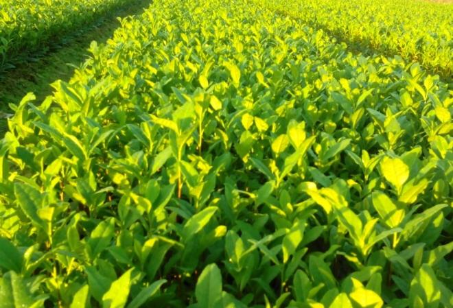 2016年新茶安吉黄金芽黄金叶白茶春茶绿茶茶叶散茶批发